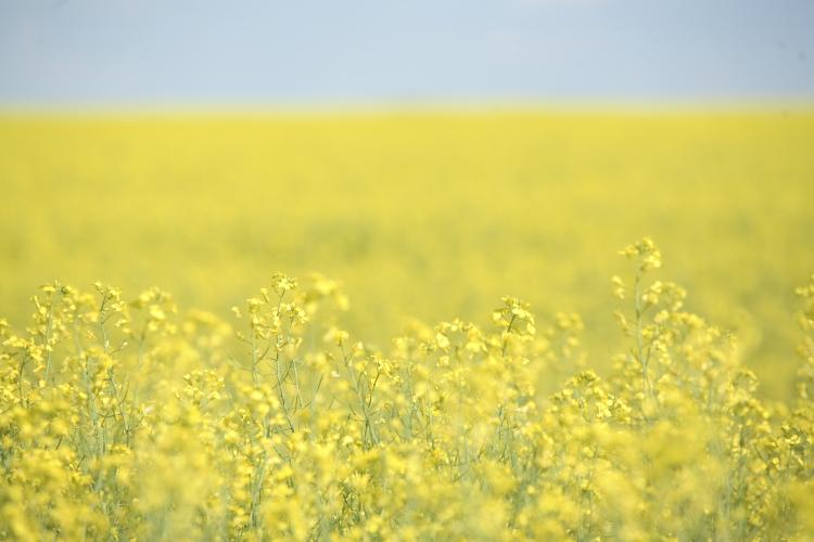 Canola field in full bloom | www.canolarecipes.ca