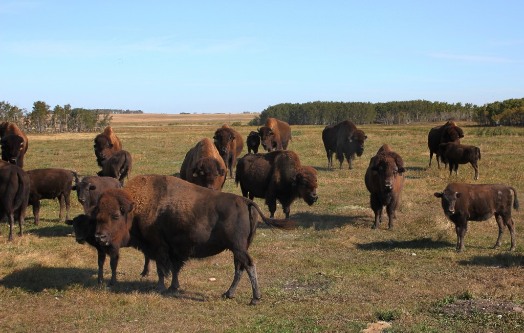 Silver Creek Bison in Field