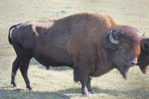 Crusher the Bison at Miller Family Farm